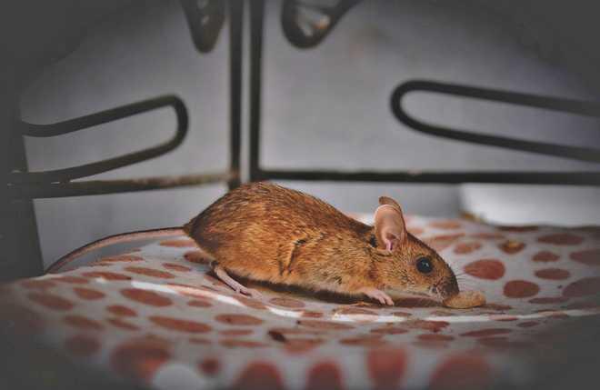 comment utiliser une tapette à souris